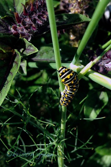 Future swallowtail butterfly feasting on fennel.