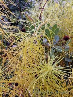 Threadleaf bluestar (Amsonia hubrichtii)
