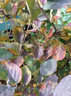 Fothergilla 'Blue Shadow'