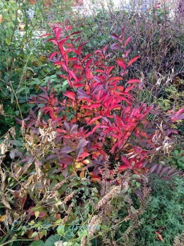 Virginia sweetspire (Itea virginica 'Henry's Garnet')