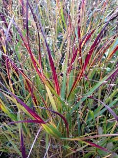switchgrass (Panicum virgatum 'Shenandoah')