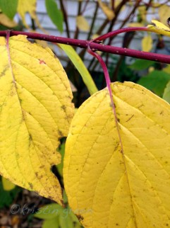 redtwig dogwood (Cornus sericea)