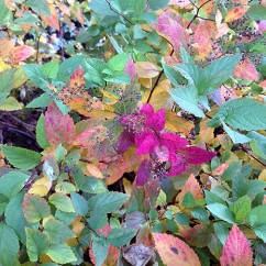 Japanese spirea (Spiraea japonica -- maybe 'Gold Mound')