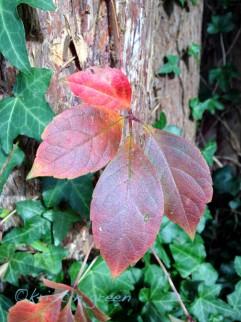 woodbine/Virginia creeper (Parthenocissus quinquefolia)