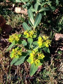 Euphorbia longifolia 'Amjilassa' blooming like spring
