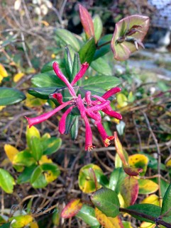 Lonicera sempervirens 'Major Wheeler' still blooming -- but the flowers are looking a little runty
