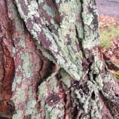 lichened bark
