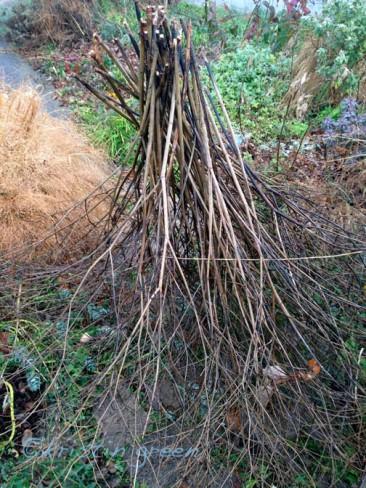 Baptisia (false indigo) tumbleweed