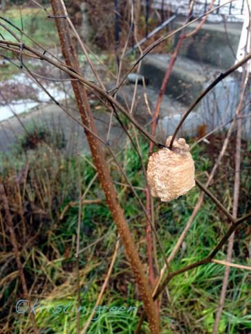 Praying mantis egg case tucked back into the garden