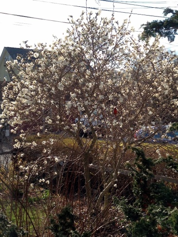 Cardinal in my just-blooming Magnolia stellata a couple of days ago.