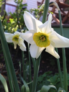 Narcissus 'Sinopel'