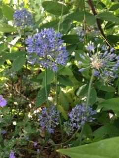 Allium azureum