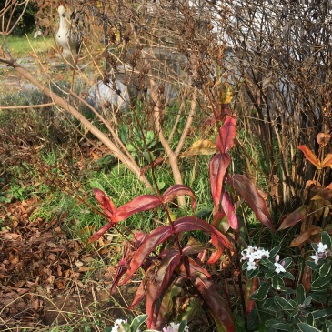 Penstemon digitalis (with Daphne x 'Eternal Fragrance' still blooming away.)